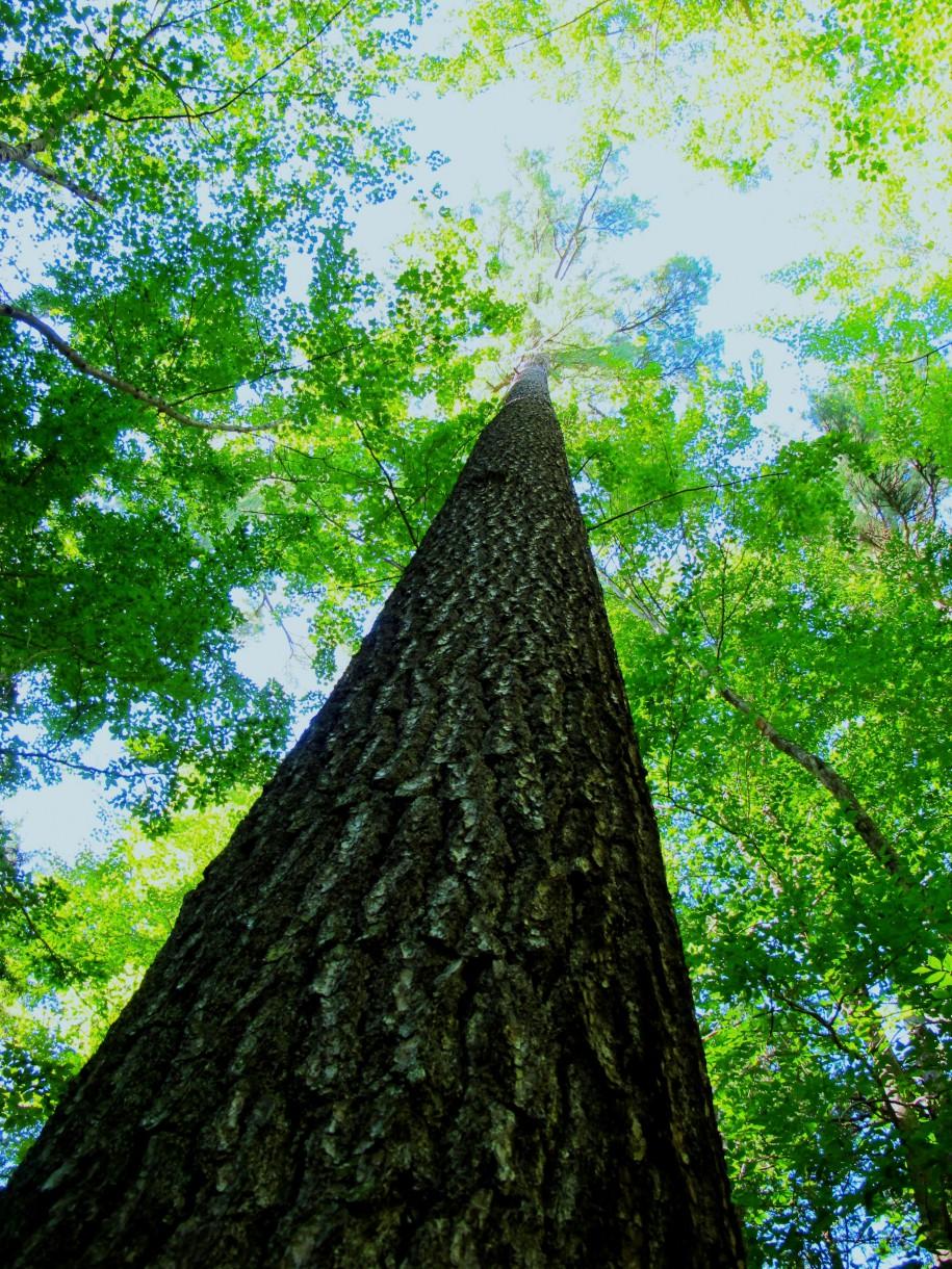 Bäume passen die Dicke ihre Äste bei Bedarf an.